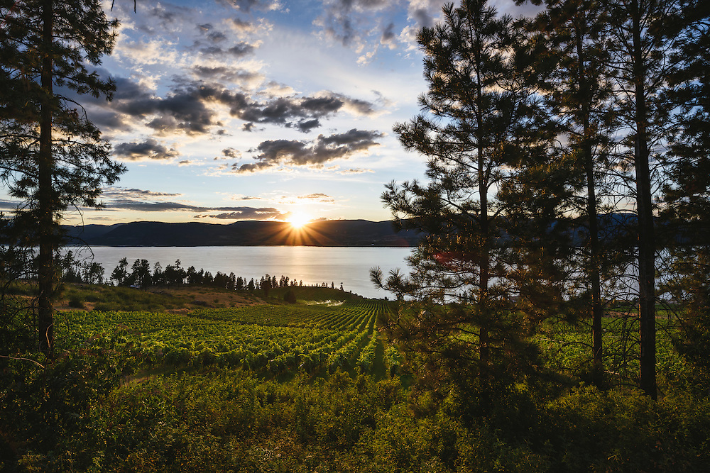 The vines of St Hubertus Estate Winery, Kelowna BC