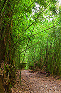 Little treaded road/trail through bamboo off the Road to Hana, Maui, Hawaii.