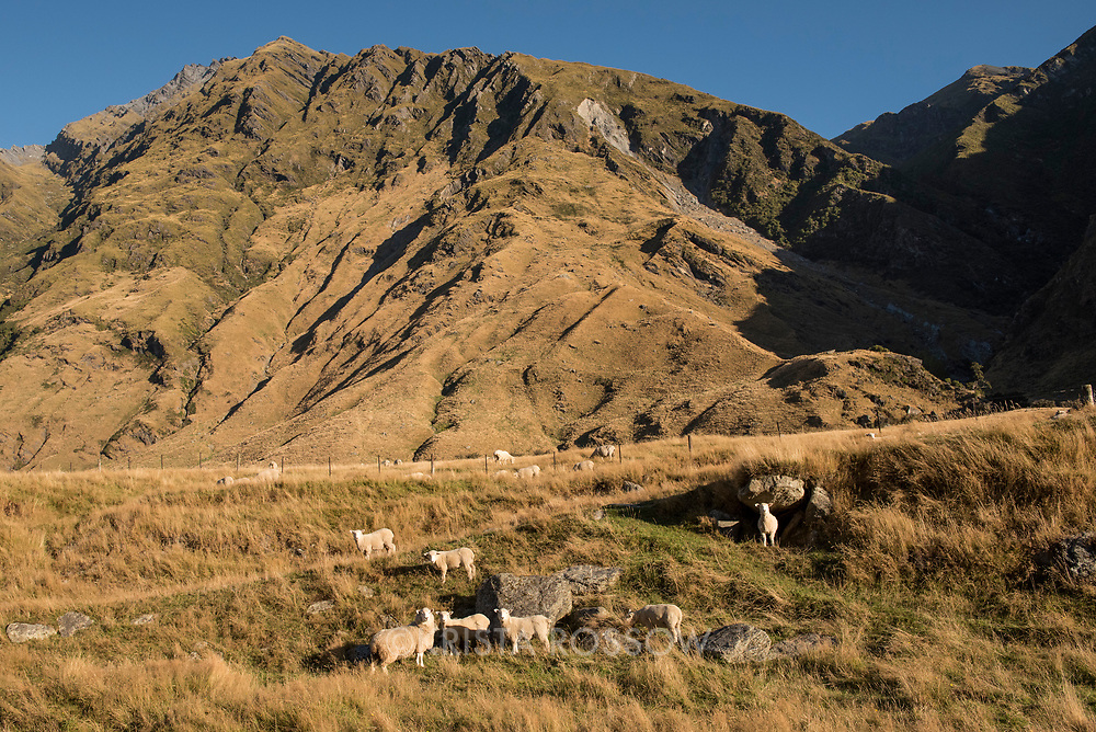 The beginning of the Rob Roy Glacier Track leads hikers by beech forests and through pastures full of grazing livestock in the Matukituki Valley near Wanaka on the South Island of New Zealand.