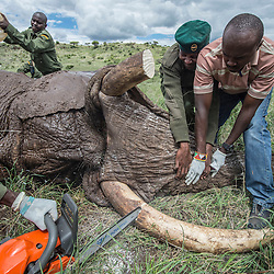 """An elephant named """"Monk"""" has its tusks trimmed at Lewa Wildlife Conservancy in Northern Kenya, in an effort to reduce human-elephant conflict. Trimming of the tusks is a painless procedure carried out when the elephant is tranquillized. The elephant had developed a penchant for using his tusks to break fences and raid farms, destroying crops and putting himself and the people involved in danger. While trimming the elephants' tusks is an activity that conservationists do not enjoy doing and always use it as a last resort, it is a conflict mitigation effort used to try and save the elephants' lives."""