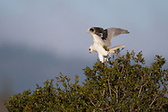 A white-tailed kite perches on a tree branch, surveying the landscape around it