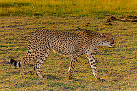 Cheetah walking, Kwara Camp, Okavango Delta, Botswana.