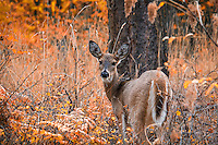 A white-tailed deer pauses for a second among the fall foliage above Chatcolet Lake in Northwestern Idaho.