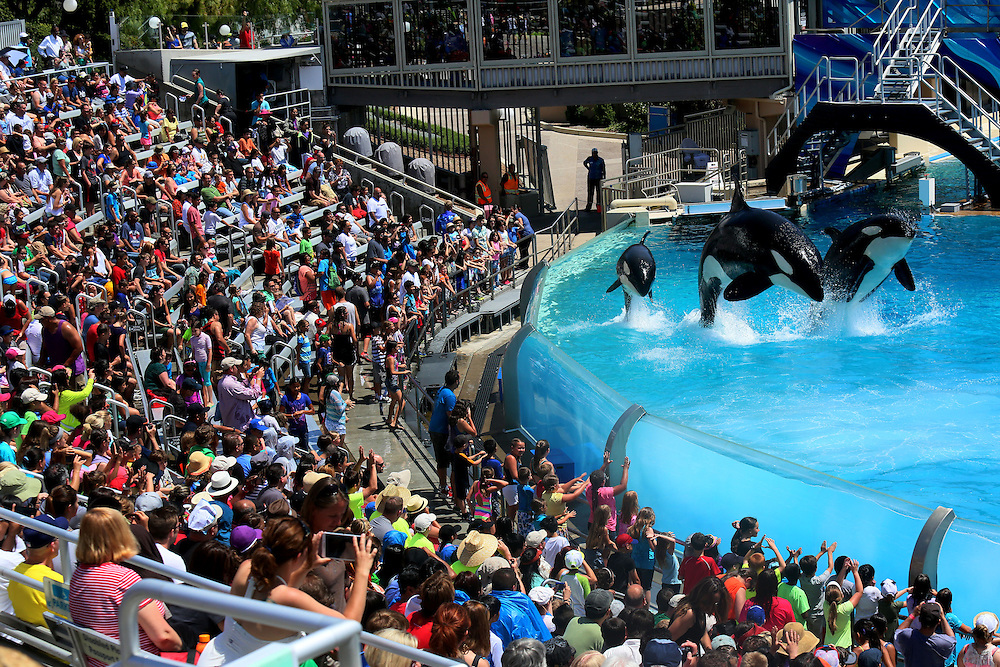 Killer Whales perform during the Shamu Show at Seaworld in San Diego, CA on Tuesday, June 24, 2014.   After last years Blackfish, a widely seen documentary about SeaWorld's whales and the trainers injured or killed by them, a California assembly member proposed a law banning killer whale shows in San Diego. That bill was tabled after outcry from political leaders in San Diego, who view the park as vital to the regional economy.(Photo by Sandy Huffaker for The Wall Street Journal)<br /> SEAWORLD<br /> 32860