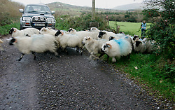 IRELAND KERRY DINGLE 3NOV05 - A flock of sheep cross the road near Brandon Point on the Dingle Peninsula, Irelands most westerly county...jre/Photo by Jiri Rezac..© Jiri Rezac 2005..Contact: +44 (0) 7050 110 417.Mobile: +44 (0) 7801 337 683.Office: +44 (0) 20 8968 9635..Email: jiri@jirirezac.com.Web: www.jirirezac.com..© All images Jiri Rezac 2005 - All rights reserved.