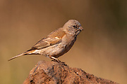 House sparrow (Passer domesticus, female) from Zimanga, South Africa.