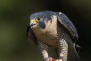 Peregrine Falcon at the Center for Birds of Prey November 15, 2015 in Awendaw, SC.