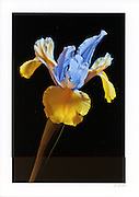 Greeting card with photograph of blue and yellow Dutch Iris individually printed on archival card stock in vivid colors
