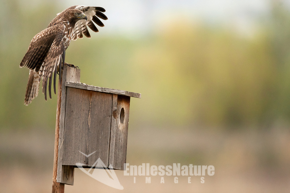 A Red Tailed Hawk takes a moment to rest on a nesting box in a local bird refuge after hovering over an open wetland close to the nesting box.