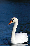 Mute swan on the River Windrush in Oxfordshire, England