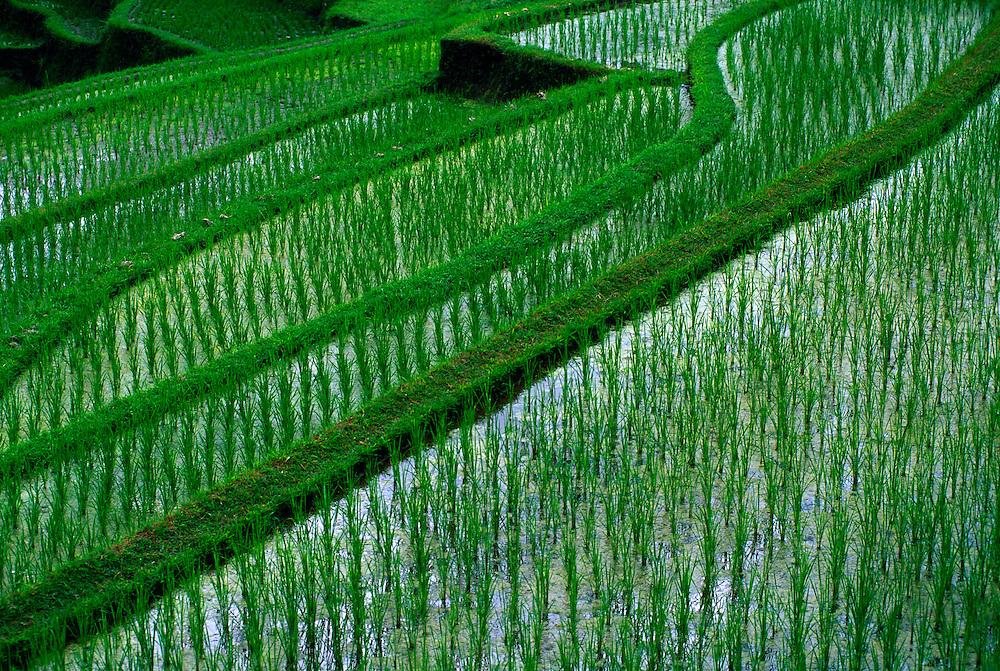 Rice terraces at Gunung Kawi, Tampaksiring, Bali, Indonesia