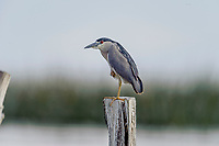 Black-crowned night heron (Nycticorax nycticorax) perched on a post in Lake Chapala - Ajijic, Jalisco, Mexico