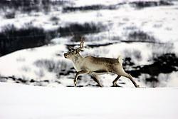 NORWAY FINNMARK 25MAR07 - Reindeer near Indre Brenna Finnmark, Norway's northermost Arctic province...jre/Photo by Jiri Rezac..© Jiri Rezac 2007..Contact: +44 (0) 7050 110 417.Mobile:  +44 (0) 7801 337 683.Office:  +44 (0) 20 8968 9635..Email:   jiri@jirirezac.com.Web:    www.jirirezac.com..© All images Jiri Rezac 2007 - All rights reserved.