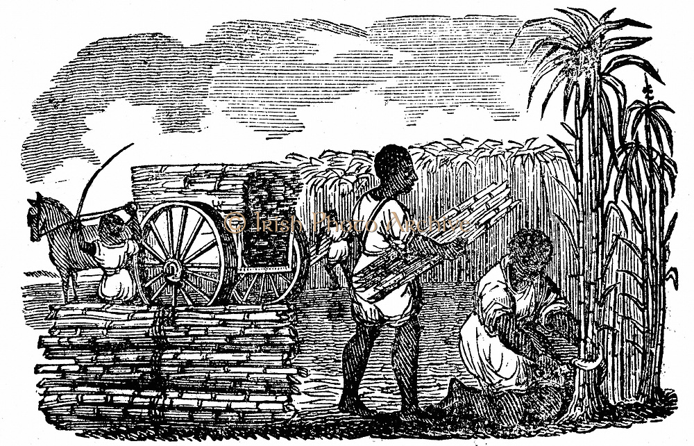 Slaves harvesting sugar cane in Louisiana. Note serrated sickle. Woodcut from 'Scenes of American Wealth and Industry' Boston 1833. Woodcut.