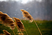 Grass reeds bend to the wind at the start of a winter's snow fall in rural South Jersey.