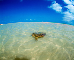 A turtle swims in the shallows at Adele Island on the Kimberley coast.  Adele is the farthest island offshore.