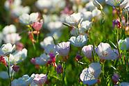 Onagraceae (Evening-Primroses)