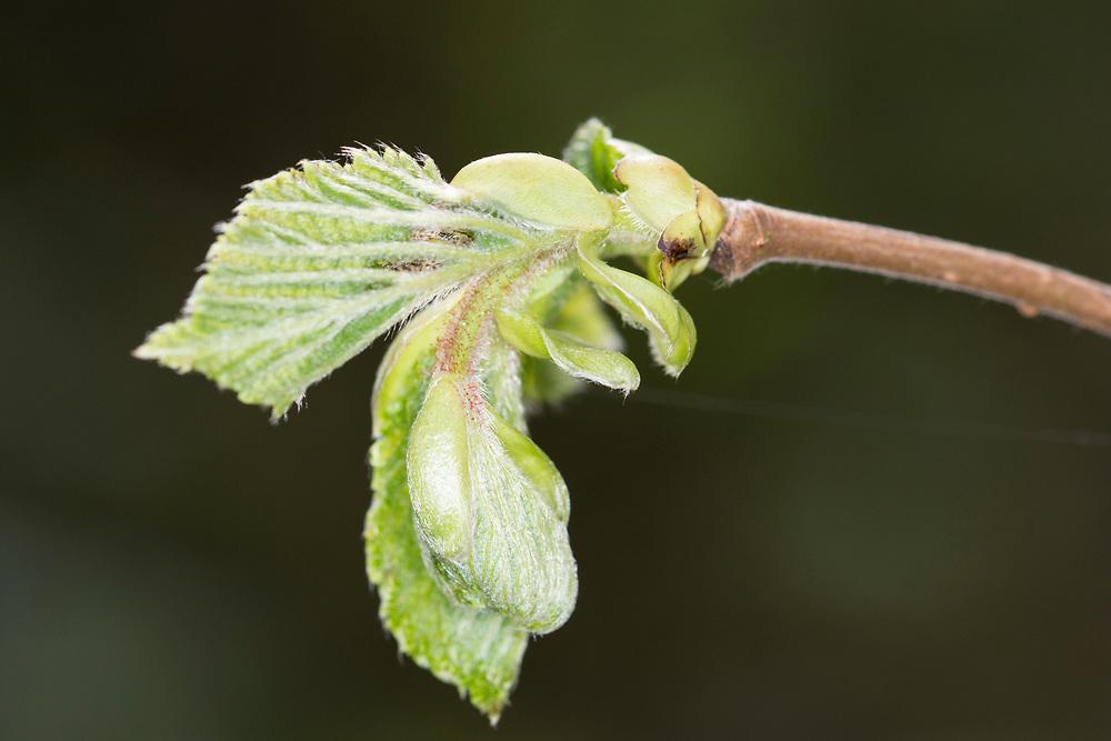 Hazel - Corylus avellana, spring leaf burst at Stoke Wood, Bicester, Oxfordshire