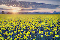 Skagit Valley Daffodils