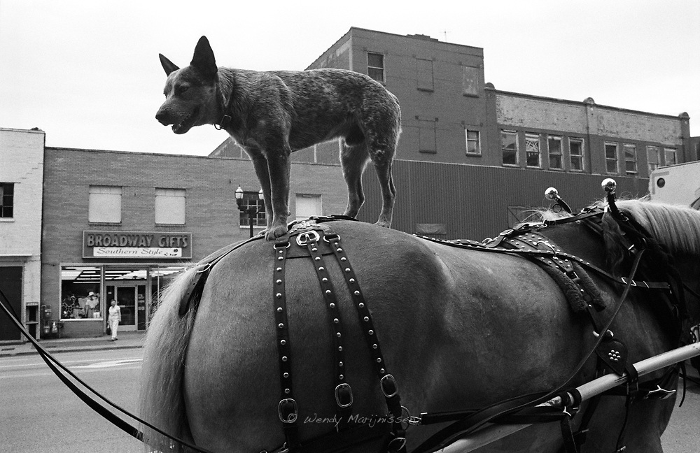 A dog stands on the back of a horse to entertain the tourists that visit the famous Broadway street in downtown Nashville. USA