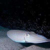 Pharaoh Cuttlefish-Sepia pharaonis