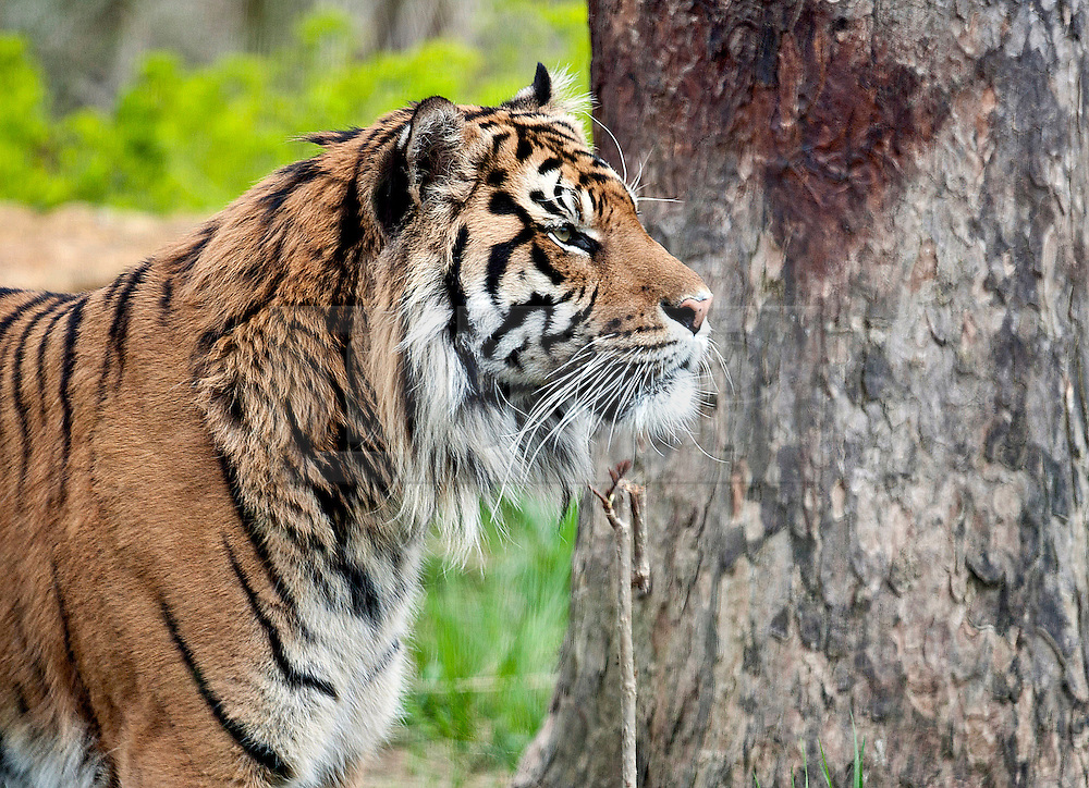 © Licensed to London News Pictures. 26/03/2014. London, UK. Dad Jae watches from a separate paddock.  Three of the world's rarest tiger cubs have made their public debut just in time for Mothers' Day, exploring the outdoor paddock of their home at ZSL London Zoo's Tiger Territory. The seven-week-old cubs joined mum, Melati, when she ventured outside to stretch her legs on Wednesday afternoon, and appeared delighted with their new play area. The cubs, who won't be named until keepers know if they are boys or girls, have been spotted playing in their custom-built cub conservatory area, but this is the first time that they've ventured outside into the main paddock. Photo credit : ZSL/LNP