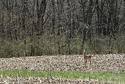 A white tailed deer looks for feed in a yet to be planted cornfield in central Illinois