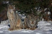 Female Lynx resting with sub-adult kittens. Wild, non-captive, non-baited.