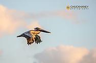 Brown pelican in flight along Sanibel Island in Florida, USA