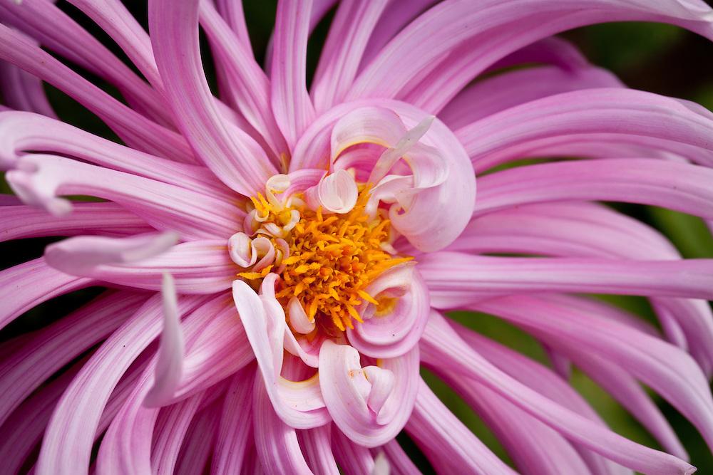 Pinkish lavender spider dahlia close up