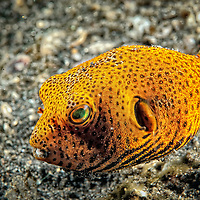 Juvenille Pufferfish in North Sulawesi Indonesia