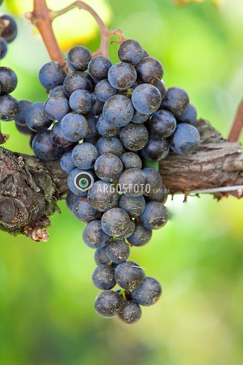 Vinhedos de merlot.  Utilizada para a elaboracao de vinho tinto para ser consumido jovem../ Merlot vineyards.Merlot is a red wine grape that is used as both a blending grape and for varietal wines.Ano/year 2010.
