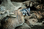 Badgers are short-legged omnivores in the family Mustelidae which also includes the otters, polecats, weasels and wolverines.