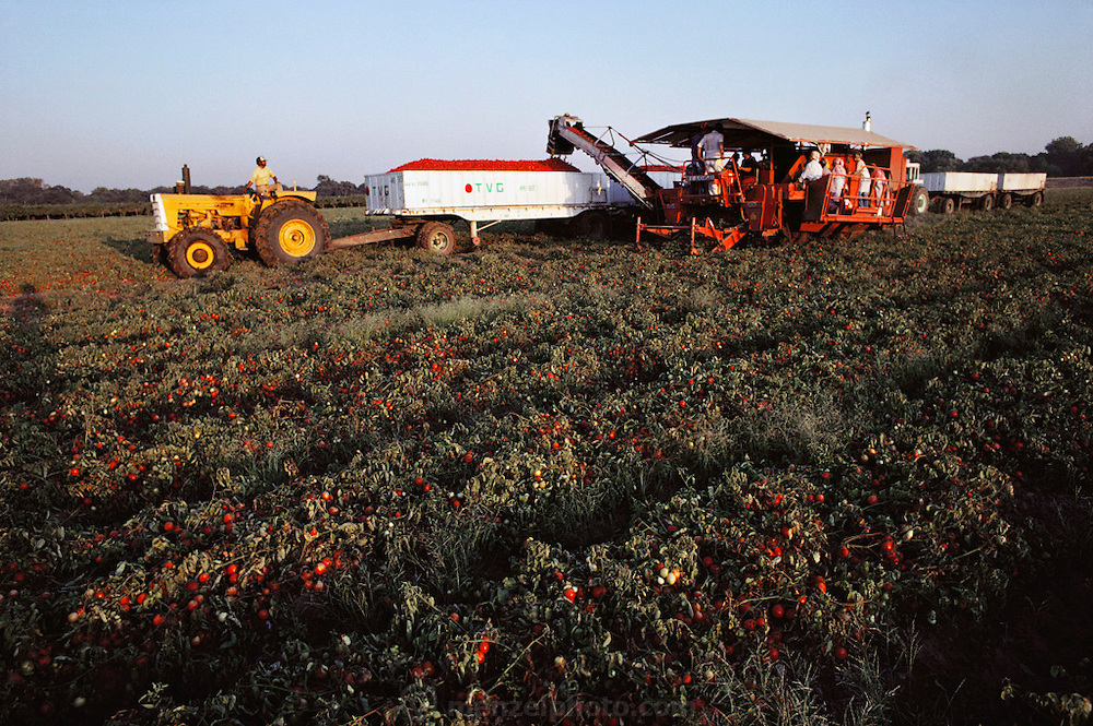 Tomatoes: Blackwelder tomato harvester, near Stockton, California, USA.