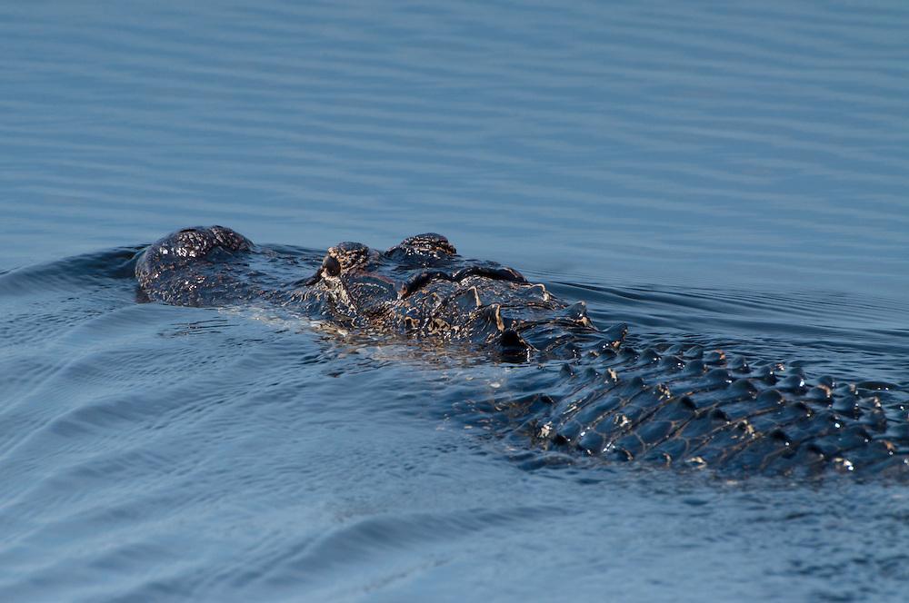 American Alligator (Alligator Mississippiensis), Blue Cypress Lake, Vero Beach, Florida, US