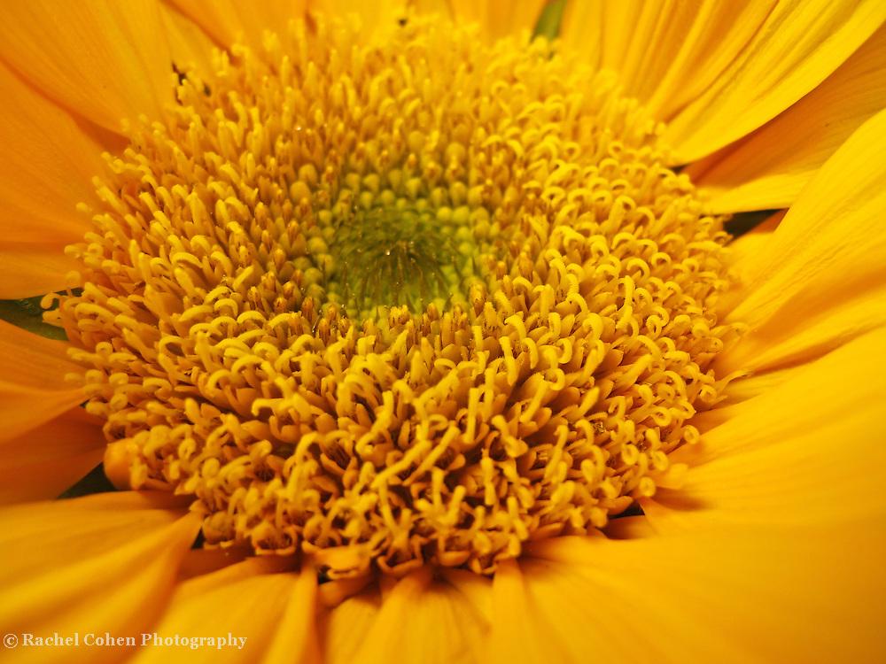 &quot;Sun Central&quot;<br /> <br /> Flowers by Rachel Cohen