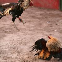 Toluca, Mex.- Gallos de pelea, combates en un palenque de la ciudad de Toluca. Agencia MVT / Mario Vazquez de la Torre. (DIGITAL)<br /> <br /> <br /> <br /> <br /> <br /> <br /> <br /> NO ARCHIVAR - NO ARCHIVE