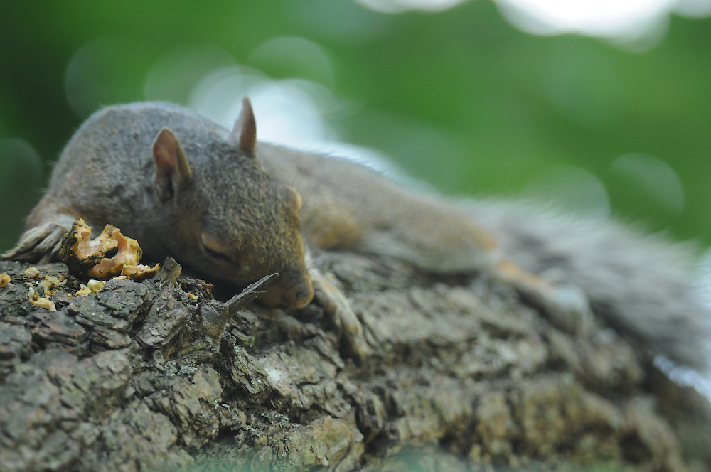 After eating it is time for a Squirrel nap with nut shells laying on the tree branch with the squirrel.