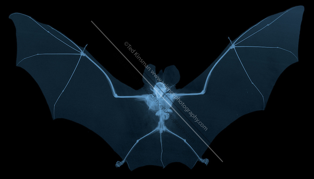 An x-ray of a bat (Hipposideros jarvatus) collected in East Java Indonesia in 2014.  The mateial that looks like sand in the ears of teh bat are blood sucking ticks.
