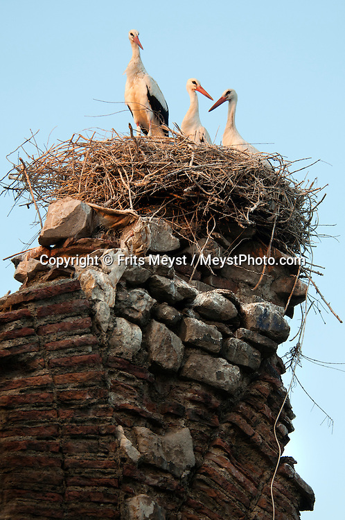 Selcuk, Western Turkey, July 2011. Storks beed on their nest in front of the Citadel on the top of the hill overlooking Selcuk. The Turkish Aegean coastline is littered with historical sites dating back to the Greek classical era. Photo by Frits Meyst/Adventure4ever.com.