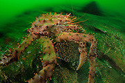 Southern king crab (Lithodes santolla) Comau Fjord, Patagonia, Chile |