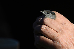 October 7, 2018 - Soria, Soria, Spain - A specimen of Eurasian blackcap (Sylvia atricapilla) is seen during the World Bird Day in Soria, north of Spain. The captured birds are ringed by the ornithologists and released after being ringed, The ringing of migratory birds provides information on life expectancy, migratory behaviour, feeding and reproduction. (Credit Image: © Jorge Sanz/Pacific Press via ZUMA Wire)
