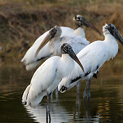 The Wood Stork, Mycteria americana, is a large, bald-headed wading bird 3 feet (0.9 meters) tall, with a 5 foot (1.5 meter) wing spread. It is the only stork breeding in the U.S. and was placed on the Federal Endangered Species list in 1984. It is also known as Wood Ibis.<br /> Photography by Jose More