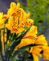 WA11659-00...WASHINGTON - Composite flower.