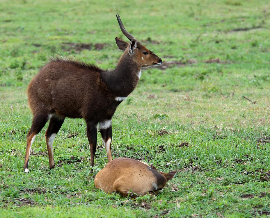 The Bushbuck - Pongo