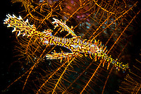Ghost pipefish are thought to have evolved camouflage that mimics the crinoids in which they often make their home.  Unlike their close relatives, the seahorses, the female (left) carries her own eggs in a pouch formed from modified fins. Lembeh Strait in N Sulawesi is famous for its unusually high marine biodiversity, particularly of unusual animals that live on the exposed sand areas.