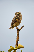 Burrowing Owl (Athene cunicularia) perched on tree branch,  Chapada dos Guimaraes , Mato Grosso, Brazil