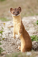 A Long Tailed Weasel stands alert at its burrow always looking for intruders and watching for mice to feed its family that is in the den.