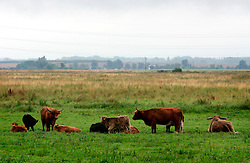 UK ENGLAND CAMBRIDGESHIRE WICKEN 7AUG06 - Organic Highland cattle on the Wicken Fen National Nature Reserve, managed by the National Trust is one of Britain's oldest nature reserve dating back to the late 1800s...jre/Photo by Jiri Rezac..© Jiri Rezac 2006..Contact: +44 (0) 7050 110 417.Mobile:  +44 (0) 7801 337 683.Office:  +44 (0) 20 8968 9635..Email:   jiri@jirirezac.com.Web:    www.jirirezac.com..© All images Jiri Rezac 2006 - All rights reserved.