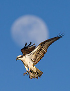 Osprey flying in front of a nearly full moon, Longmont, Colorado